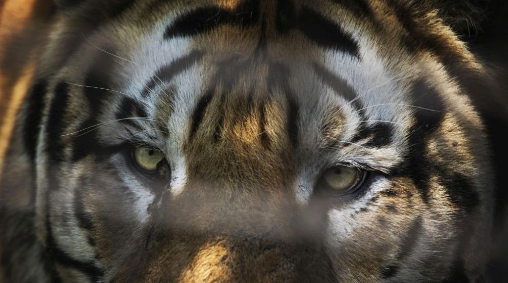 Лекуват сибирския тигър Игор със стволови клетки (СНИМКИ)