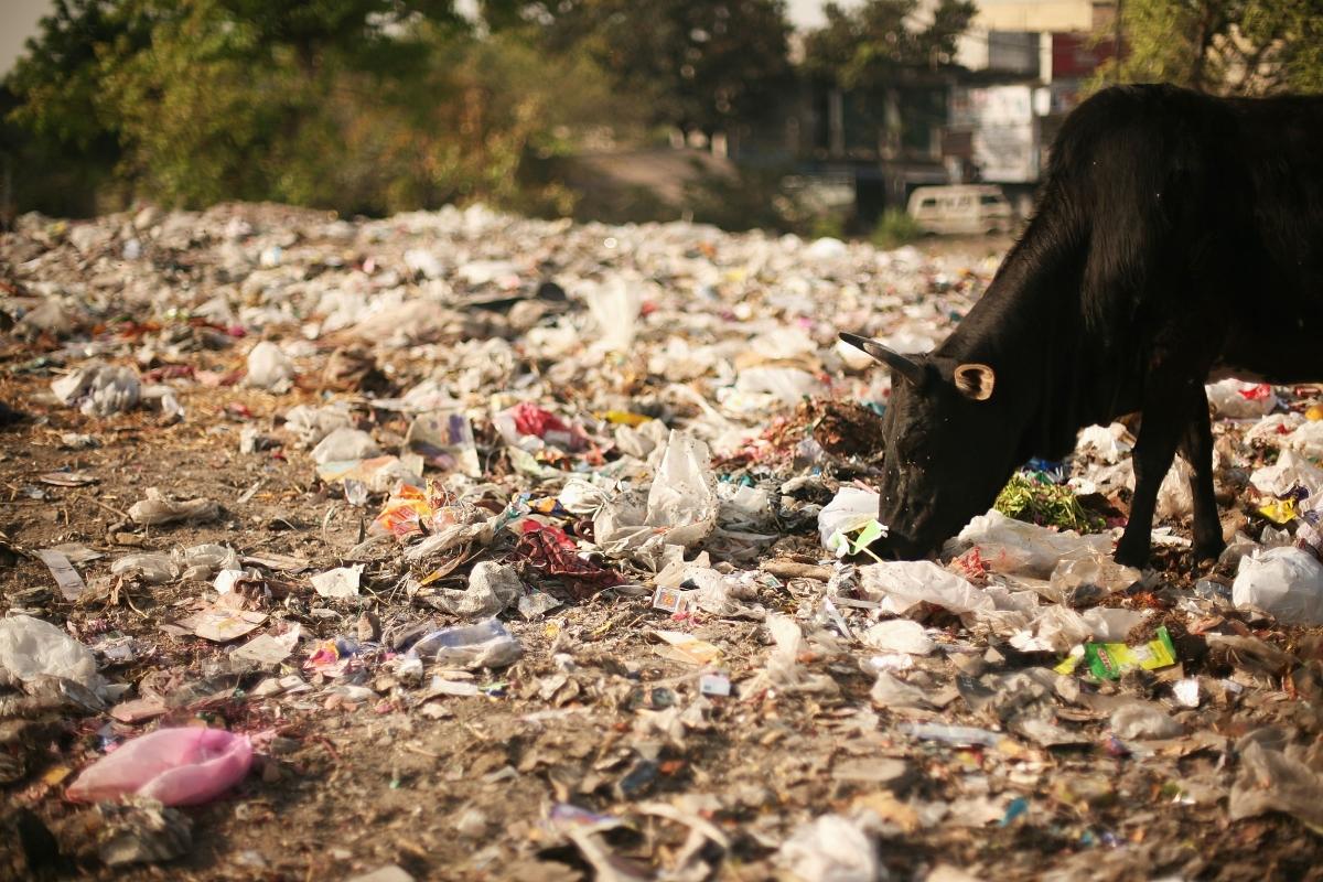 Крава в Индия, която се храни с отпадъци.