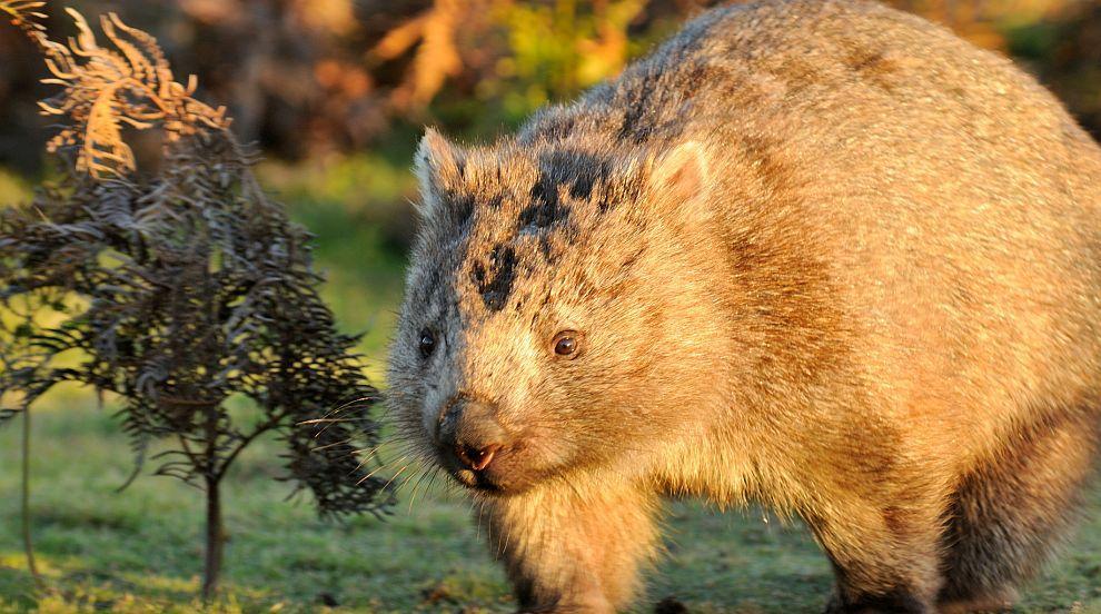 Почина най-възрастният вомбат в света