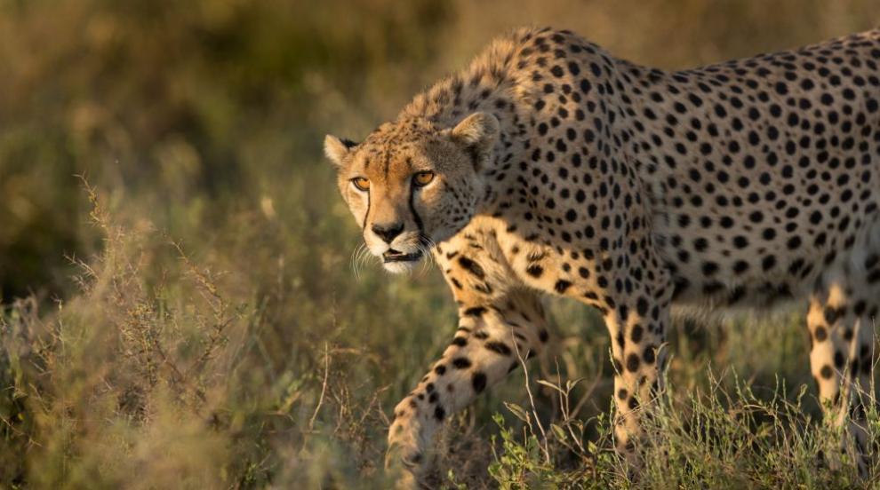 Семейство рискува да бъде разкъсано от гепарди заради снимка (ВИДЕО)