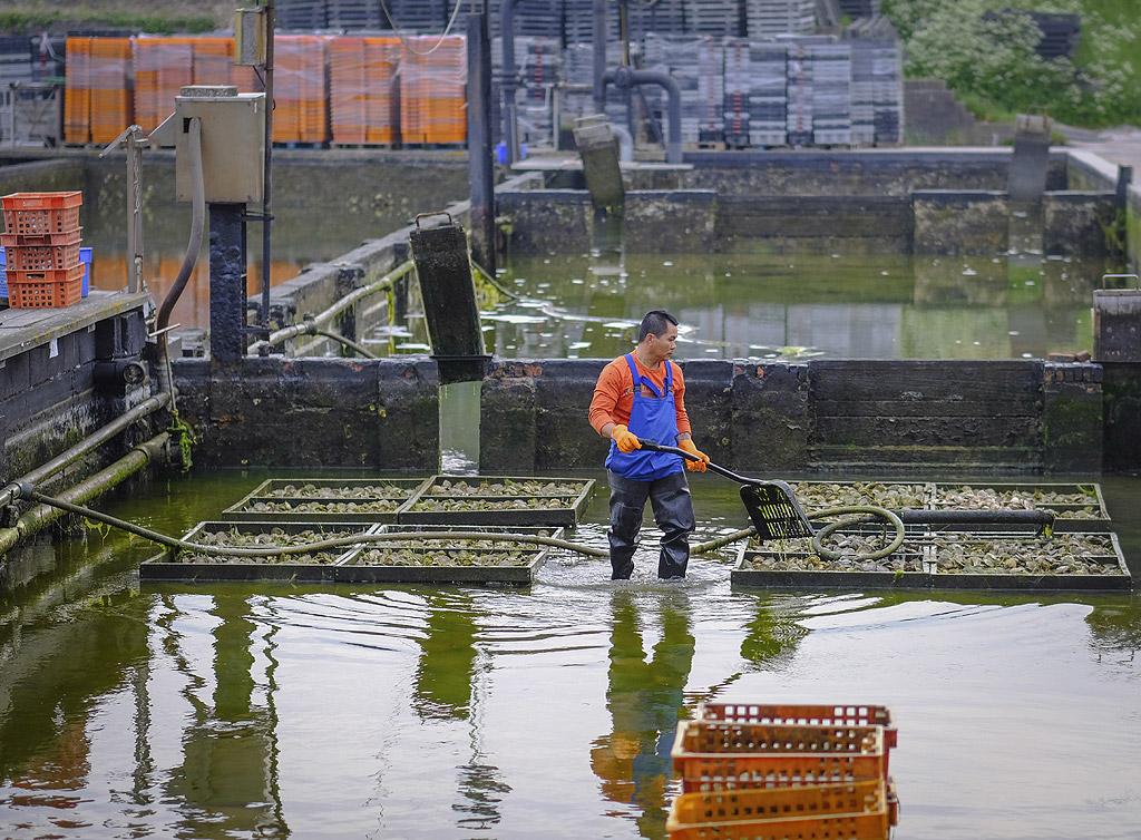 """Ферма за стриди в Зеландия, Холандия. Фермерският добив на стриди е сред най-устойчивите методи за производство на храна в света: той има толкова ниско отражение върху екосистемата, че е разрешен дори в морски природни резервати. Има различни техники на стридени култури, от дълбоководна култивация до """"подноси за стриди"""", както и много други."""