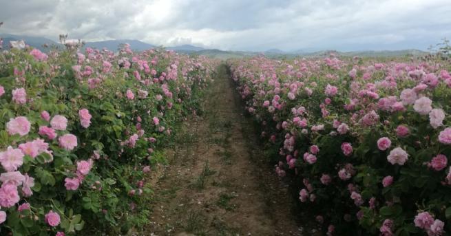 Брацигово протест рози Фиксирани минимални цени от 3,50-4,00 лв/кг за