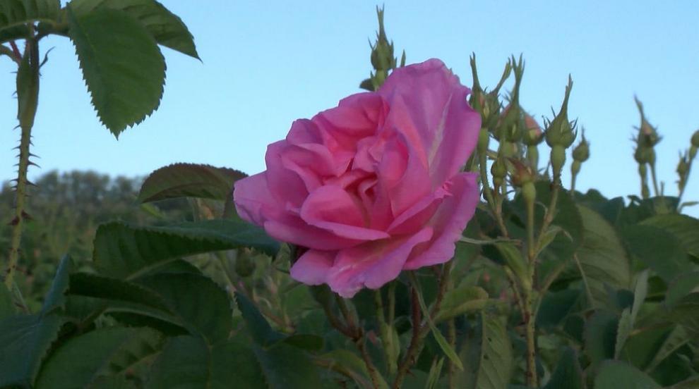 Дестилериите ще изкупят максимално възможно количество розов цвят