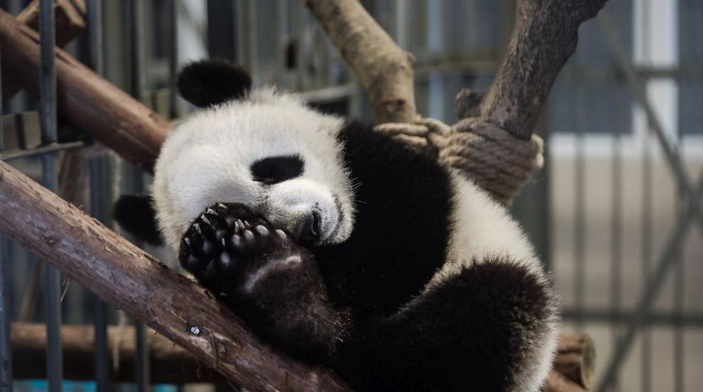 Зоопарк в Куала Лумпур показа второ бебе панда пред публика (СНИМКИ/ВИДЕО)