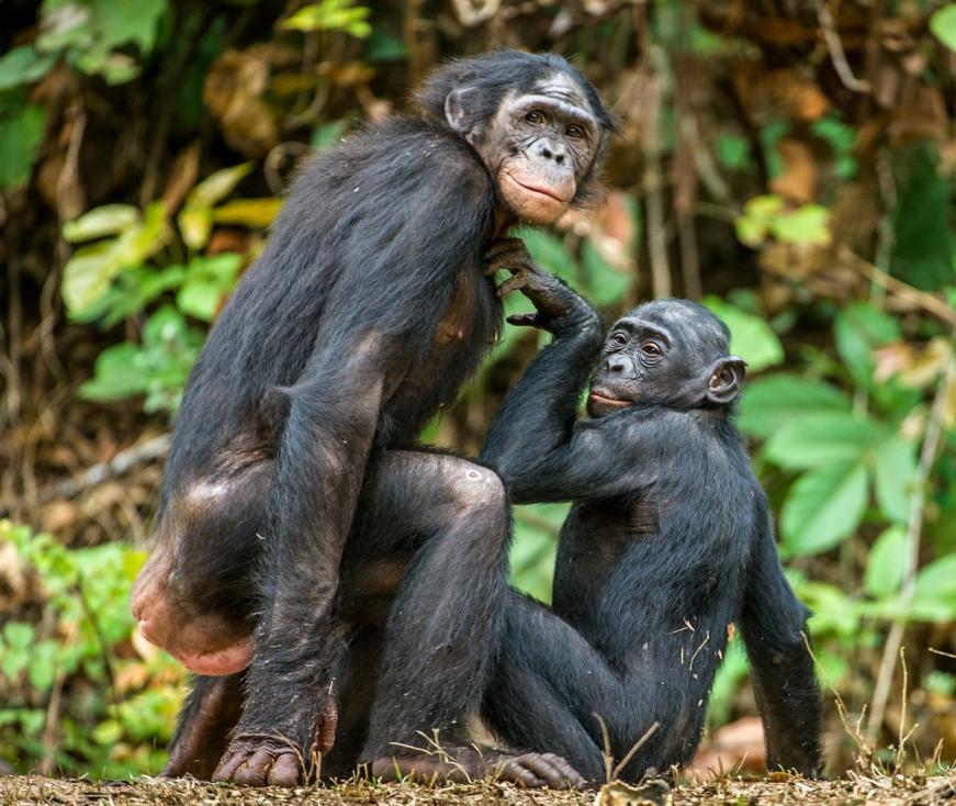 - Шимпанзетата са известни с това, че правят секс за удоволствие. Освен това го правят по много и си падат по отворените връзки.