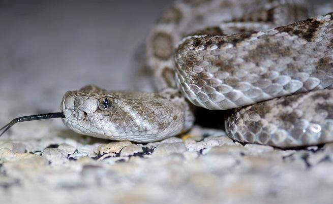 Мъж едва не умря след ухапване от отрязаната глава на змия