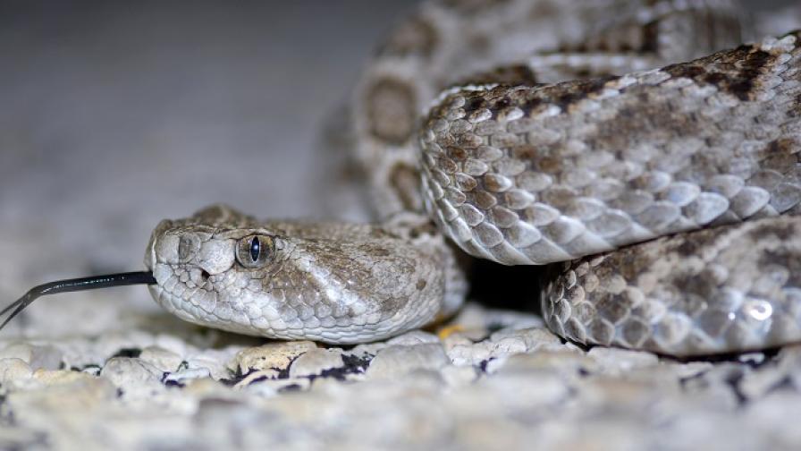 Отрязана глава на змия едва не уби мъж от Тексас