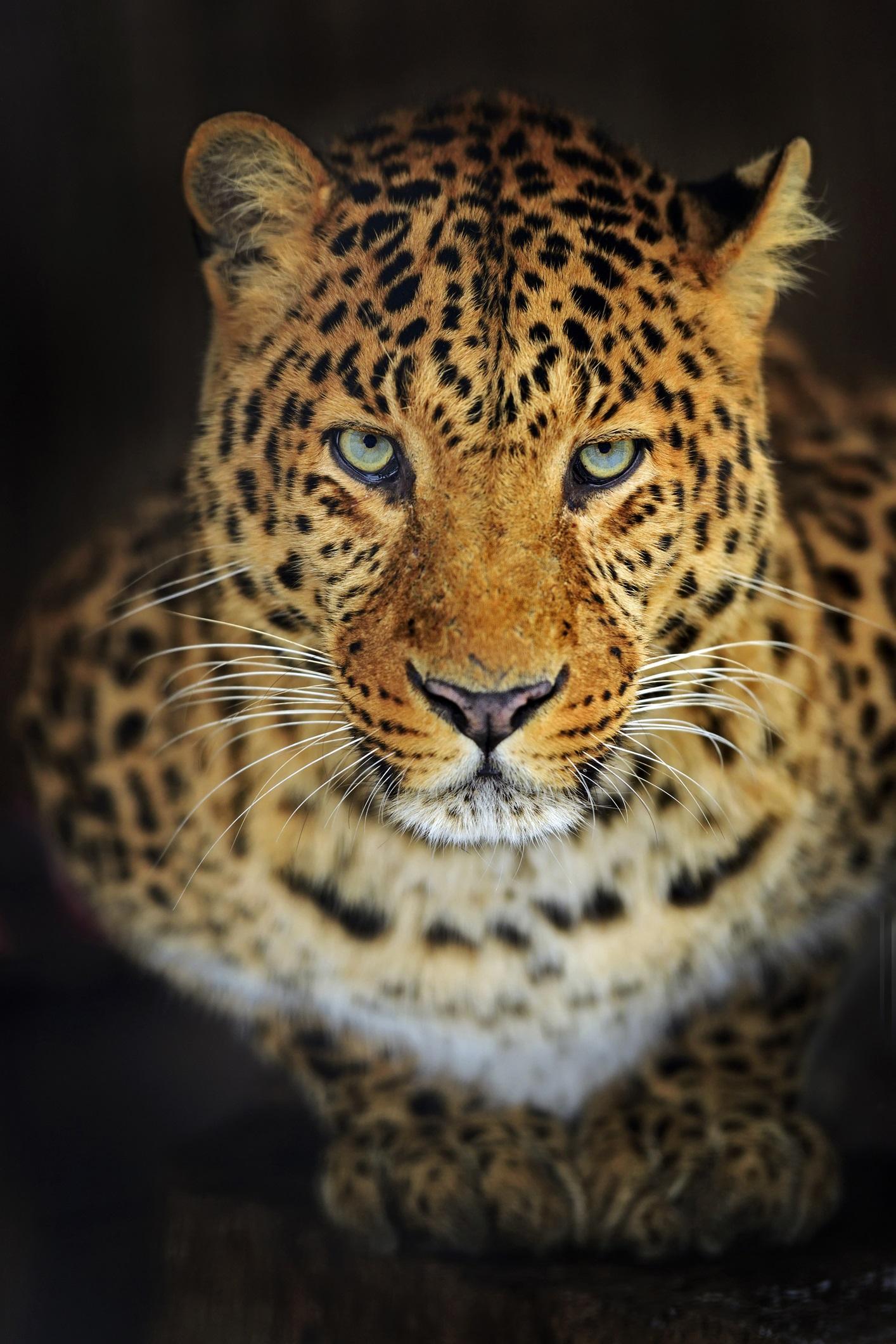 """Леопард, Мумбай<br /> <br /> Между 35и 41 леопарда живеят в Националния парк """"Санджай Ганди"""" в покрайнините на Мубай, Индия. Докато хората се оплакват от лисици и еноти в своите градски дворове, леопардите действително могат нападнат хора и да ги ранят смъртоносно. Тъй като местообитанията на леопардите се свиват, те е местят все по-близо до градовете, за да оцелеят. Някои хора дори се страхуват да напуснат домовете си. Децата в засегнатите райони трябва да се разхождат на групи от шест или повече."""