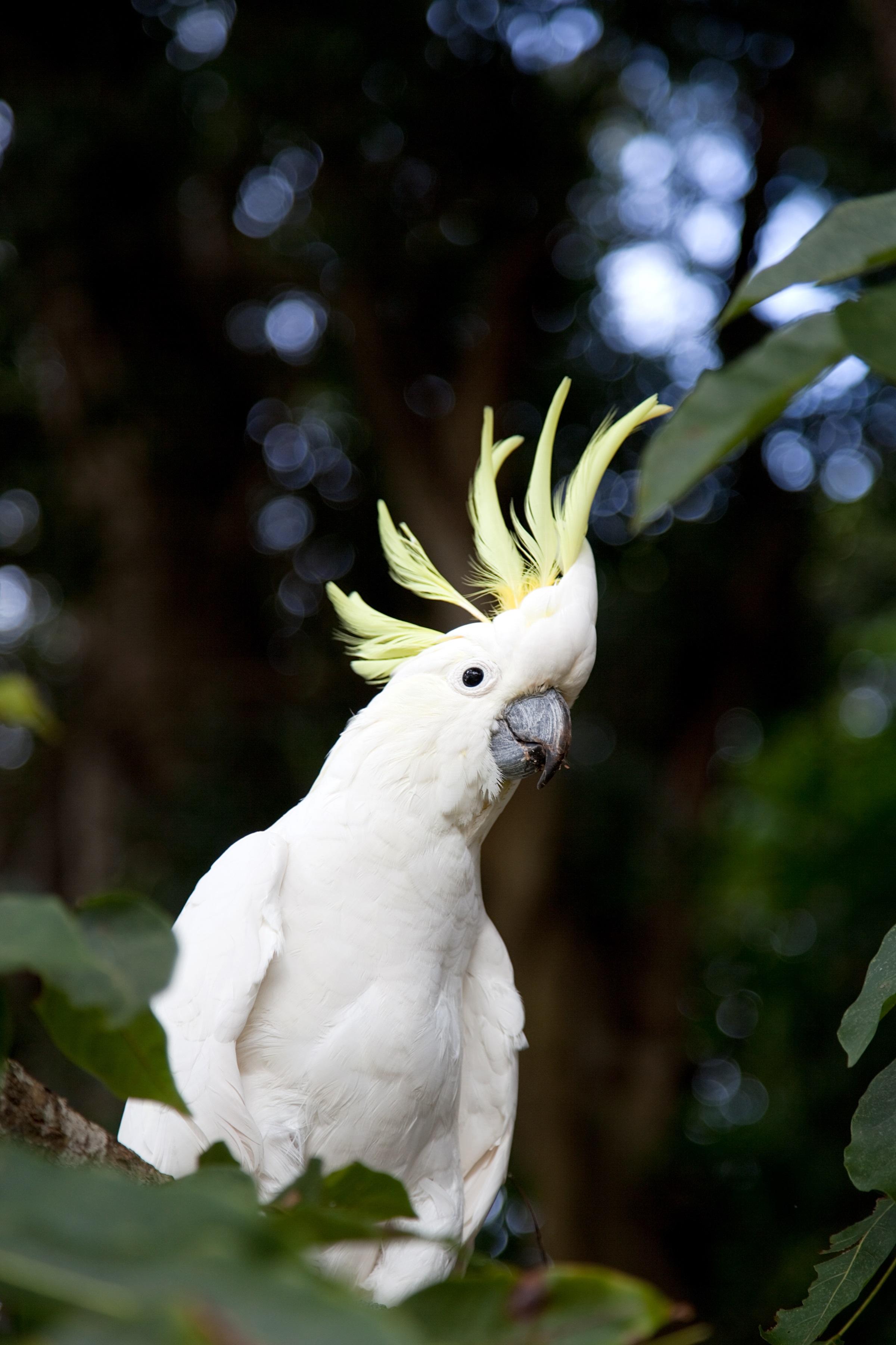 Тази красива птица обаче е намерила своя оазис в силно урбанизирания Хонг Конг. Броят на малкото жълтокачулато какаду там наброява около 200 екземпляра, което е 10% от световната популация.