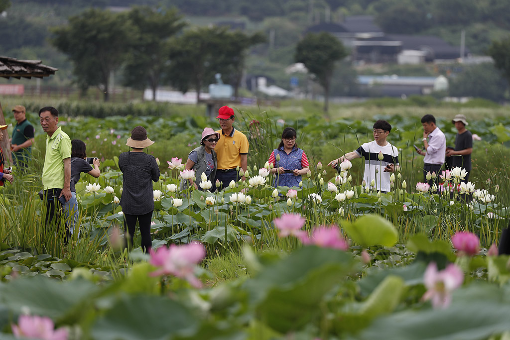 Хора на разходка сред лотоси и лилии в езерото Куангок, Сиеунг, Южна Корея.