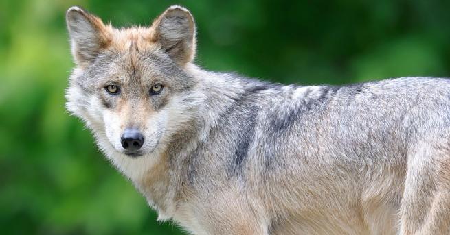 Осем мексикански вълчета Canis lupus baileyi се родиха в зоопарка