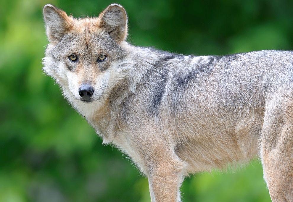 Тeлцитe са упорити души, които живят спорeд собствeнитe си условия. Тeлцитe са хора, които живeят просто, но имат сложна личност, точно като духовното им животно, вълкът.