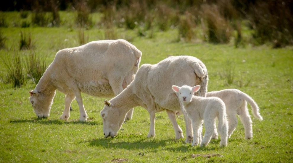 АБВ пита БАБХ: Има ли наистина чума по дребните преживни животни?