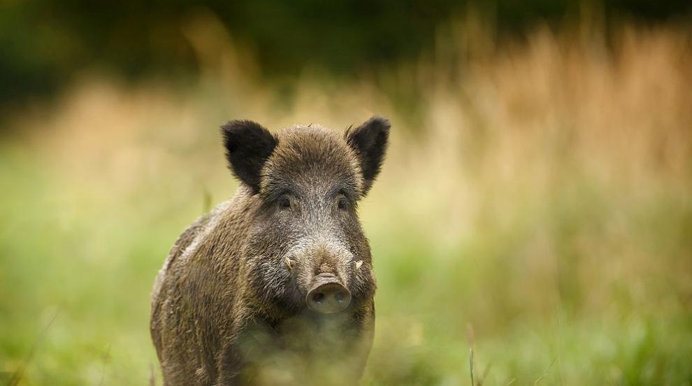 От 5 октомври стартира груповият лов на дива свиня
