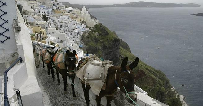 Магаретата на гръцкия остров Санторини биват осакатявани, докато носяттуристите с