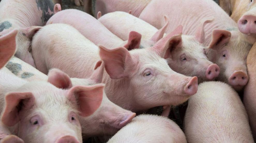 Епидемията с Африканската чума: 33 огнища при домашните прасета