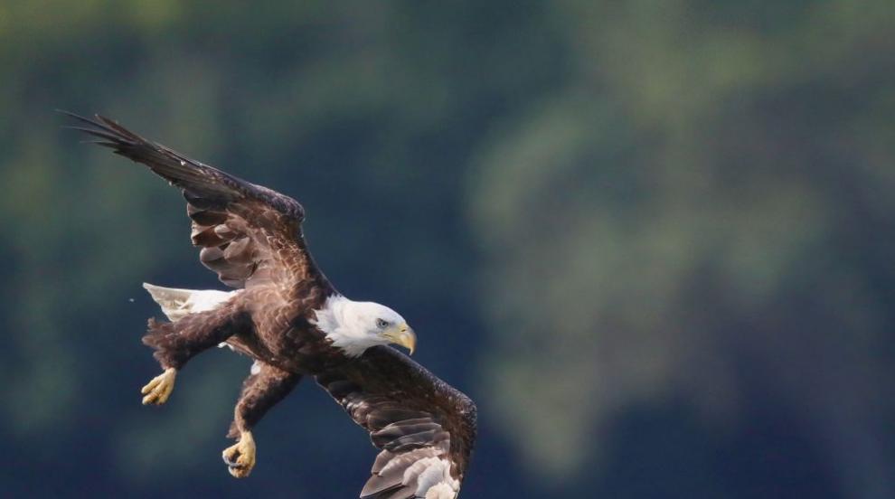 Орел се блъсна в прозорец на къща в Аляска (СНИМКИ)