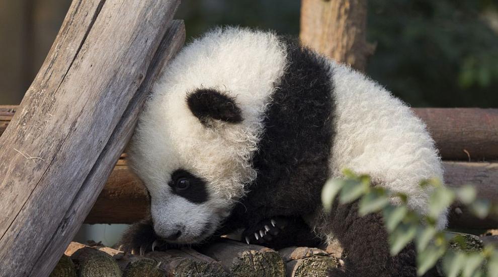Ще се разтопите: Първата родена във Франция панда навърши 1 годинка (СНИМКИ)
