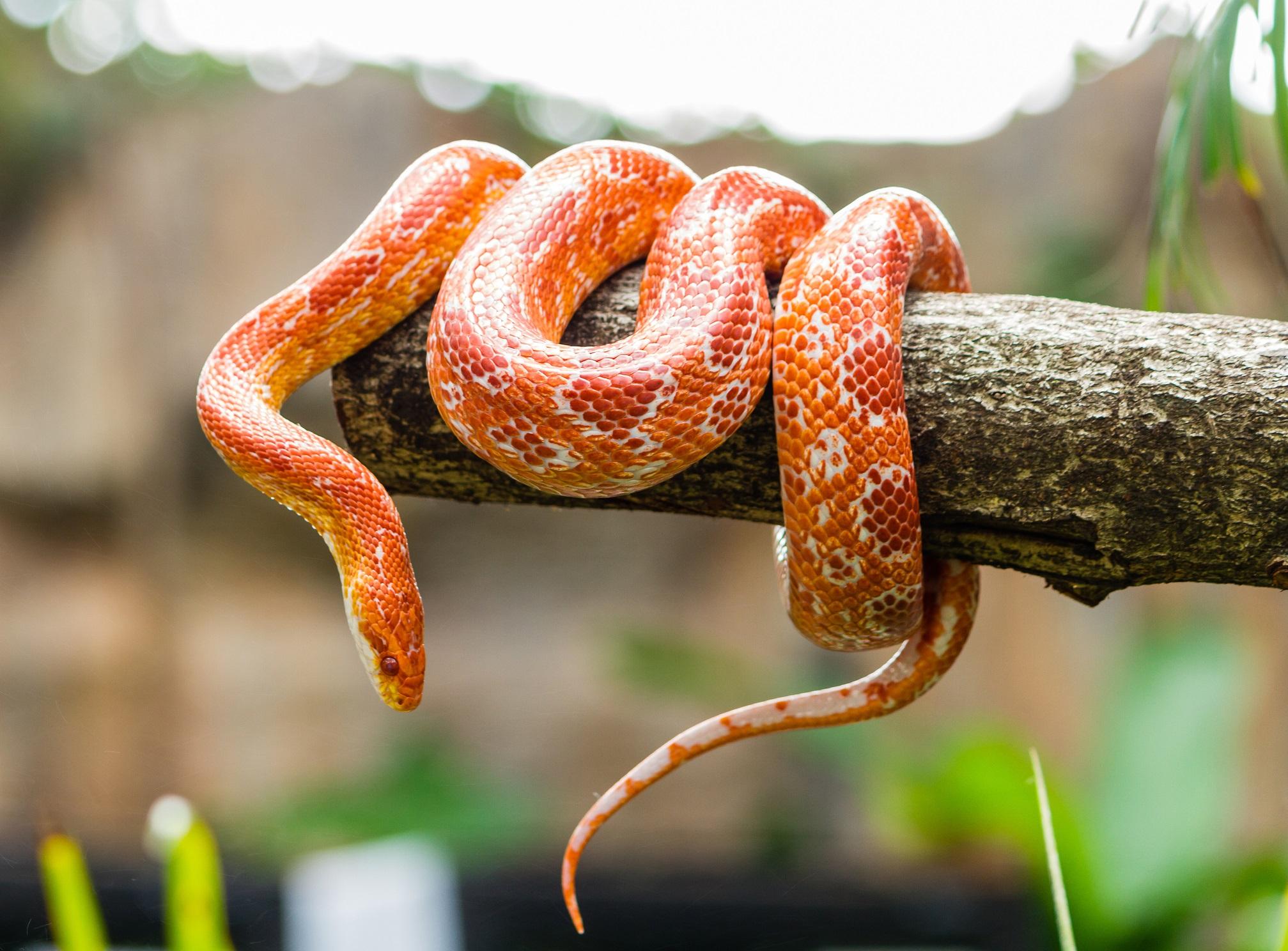 <p>Остров Ilha da Queimada Grande, или островът на змиите, се намира край бреговете на Бразилия в Атлантическия океан. Това е единственият дом на застрашения от изчезване отровен златен щипцар. Островът е затворен за посещения, за а се защити популацията на този вид змия, както и да се защитят посетителите, тъй като според някои оценки на острова има по една змия на всеки квадратен метър.</p>