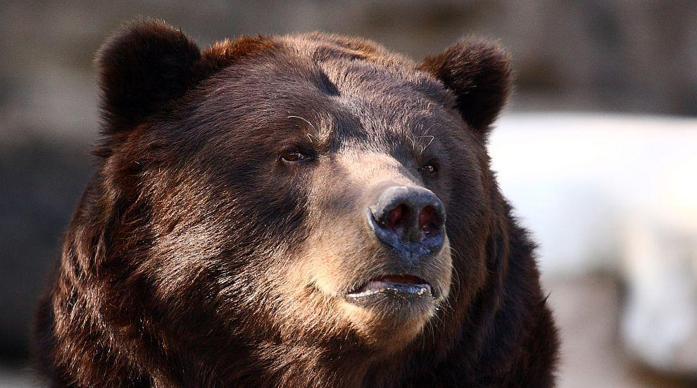 Когато мечка се отбие в магазин за алкохол (ВИДЕО)