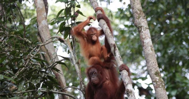 Единственият известен в света орангутан албинос все още не е