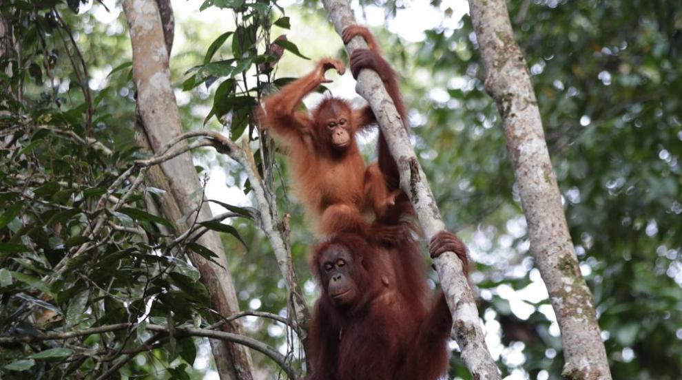 Индонезийски орангутан албинос ще обитава собствен остров (СНИМКИ/ВИДЕО)