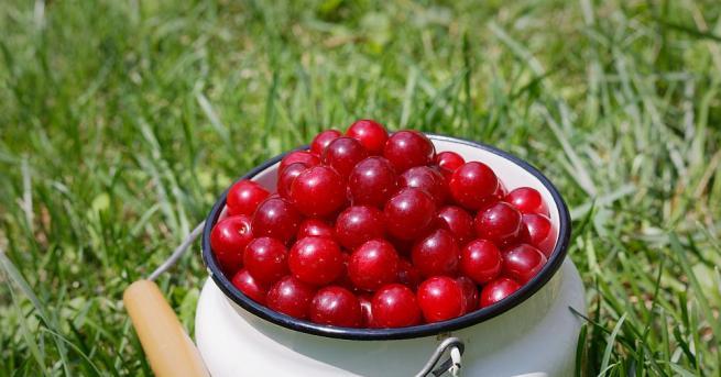 Изследване на американски биолози показа, че консумацията на вишни позволява