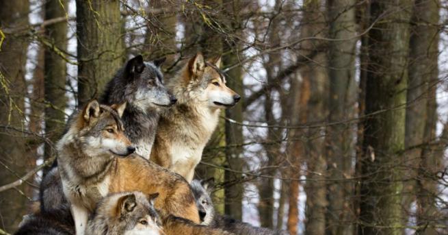 Снимка: Историята на човека, отгледан от вълци