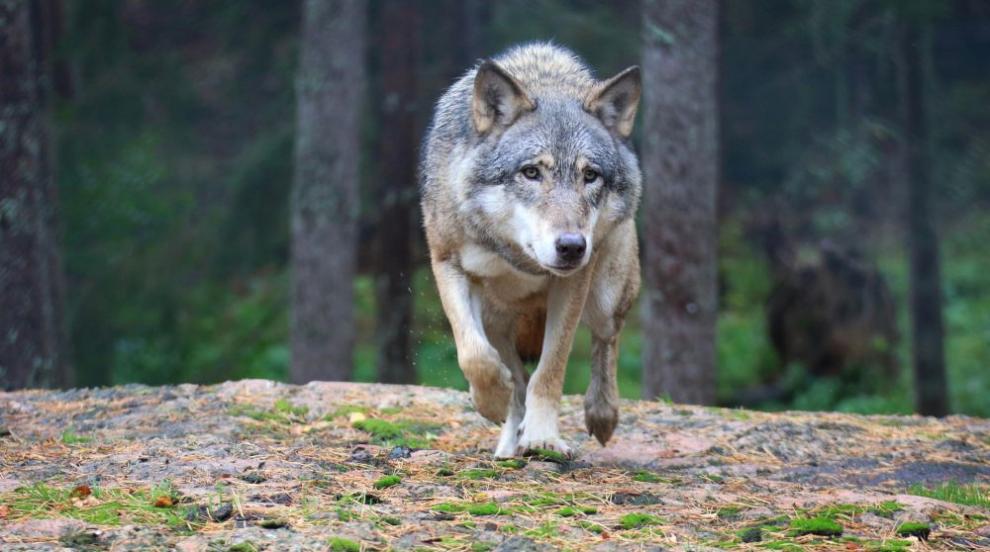 Гладни вълци тормозят цяло село (ВИДЕО)