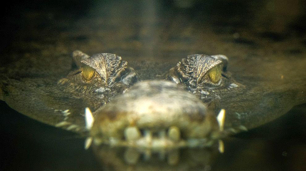 Лекари ампутираха ръката на швед, след като била захапана от крокодил на...