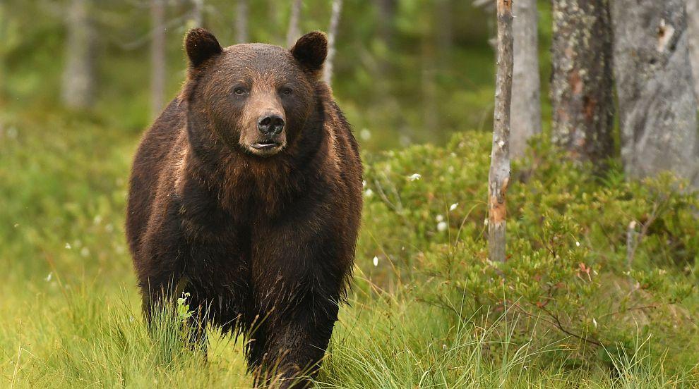 Майка прогони мечка, качила се в колата при детето ѝ