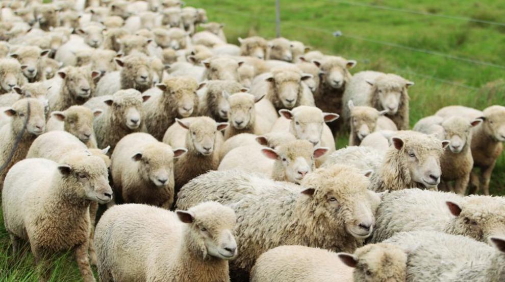 Куче робот пасе овце в Нова Зеландия (ВИДЕО)