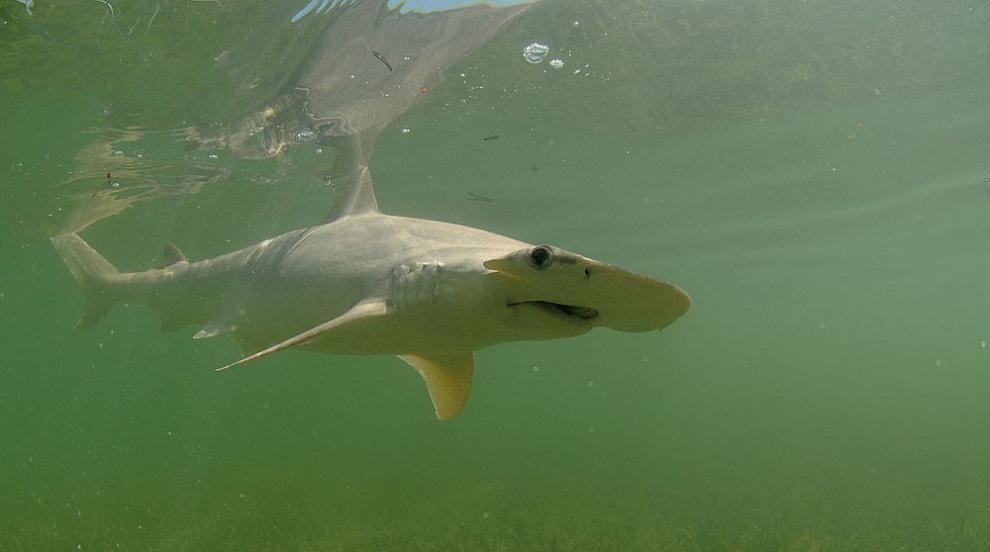 Учени установиха интересен факт за диетата на вид акули