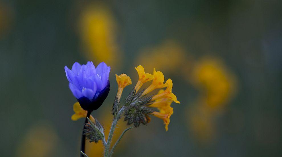 Цветя покриха пустиня в Южна Африка (СНИМКИ)