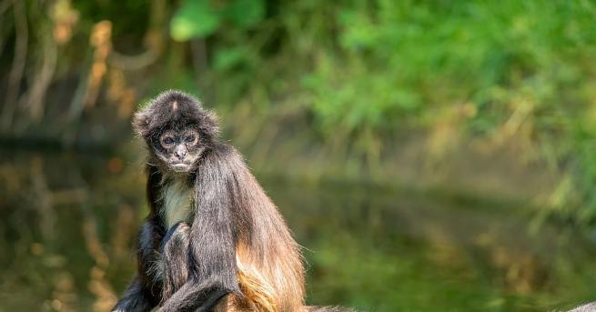 Кафява паякообразна маймуна се появи на бял свят в зоопарка
