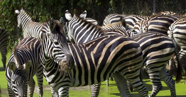 Зоолози твърдят, че черно-белите райета на зебрите са сложна охлаждаща