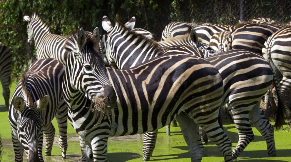 За какво служат райетата на зебрите?