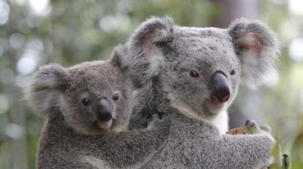 В Европа пристигнаха първите южни коали (СНИМКИ)