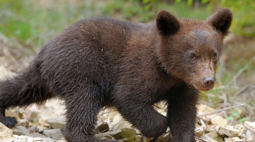 В кадър: Заснеха мечка с две мечета под Рилския...