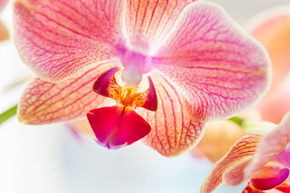 Екзотичното цвете е символ на рядка красота, неземна любов, изтънченост, чистота, невинност и изящество