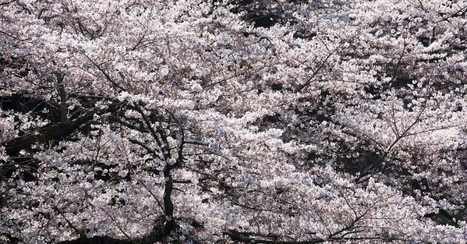 Цъфнали вишневи дървета по традиция бележат настъпването на пролетта в