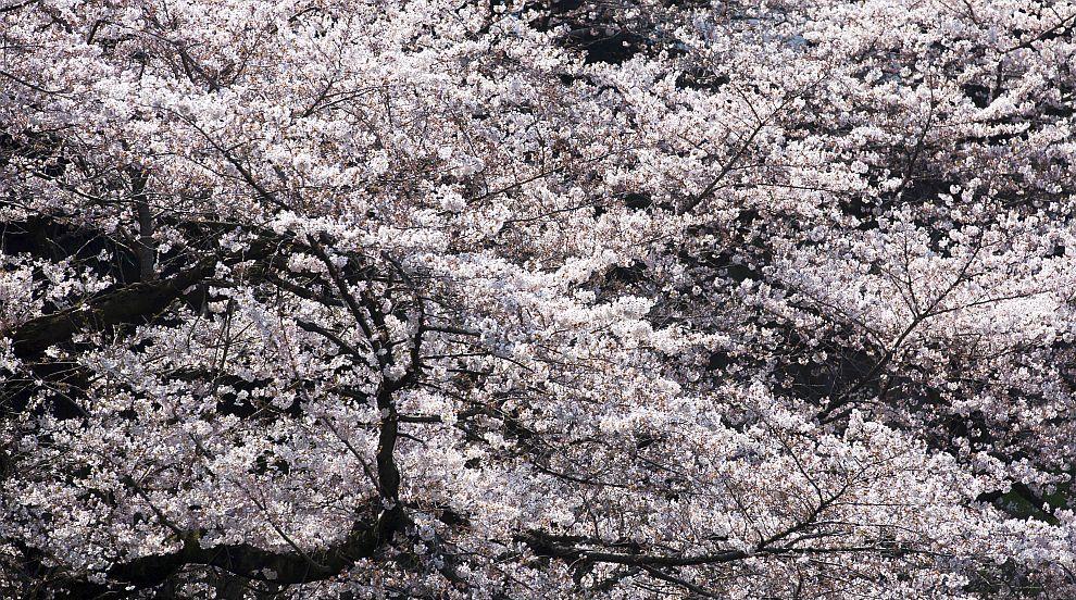 Рядък феномен: Вишневи дървета цъфнаха в Япония (СНИМКИ)