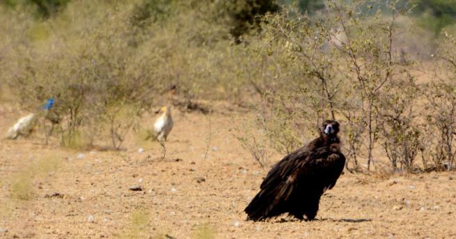 Нова възможност за възраждане на популацията на черния лешояд в