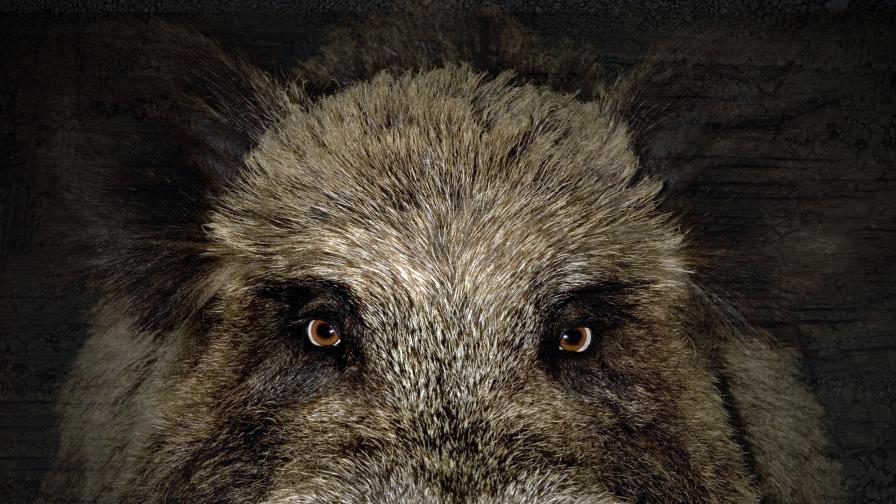 Първи случай в България на африканска чума при дива свиня