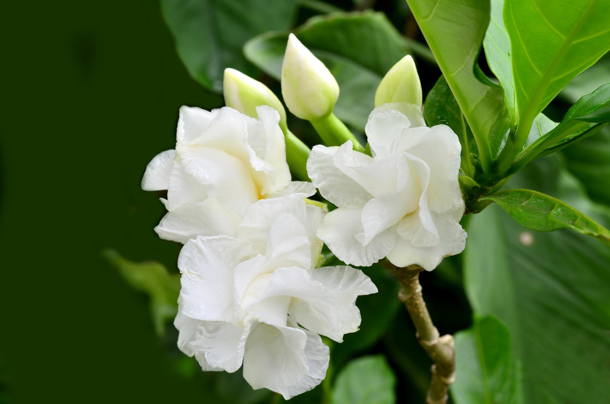 Гардения: Най-често като стайно растение се отглежда жасминовата гардения (G. jasminoides). Гардениите имат бели цветове и красив аромат-и те също могат да имат забележително седативен ефект върху тези, които се вдишват аромата им. В проучване от 2010 г., проведено от учени в университет в Дюселдорф показва, че гарденията оказва благоприятно, успокоително влияние върху тялото и мозъка.