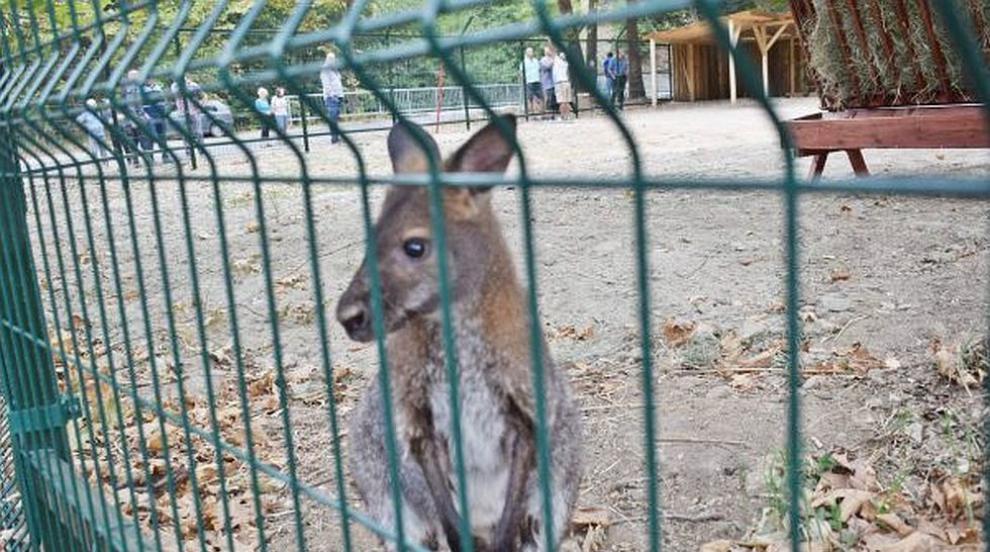 След 16 дни издирване: Откриха кенгуруто-беглец в Сандански