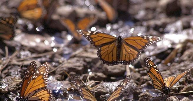 Първите за сезона пеперуди монарх пристигнаха в местата си за