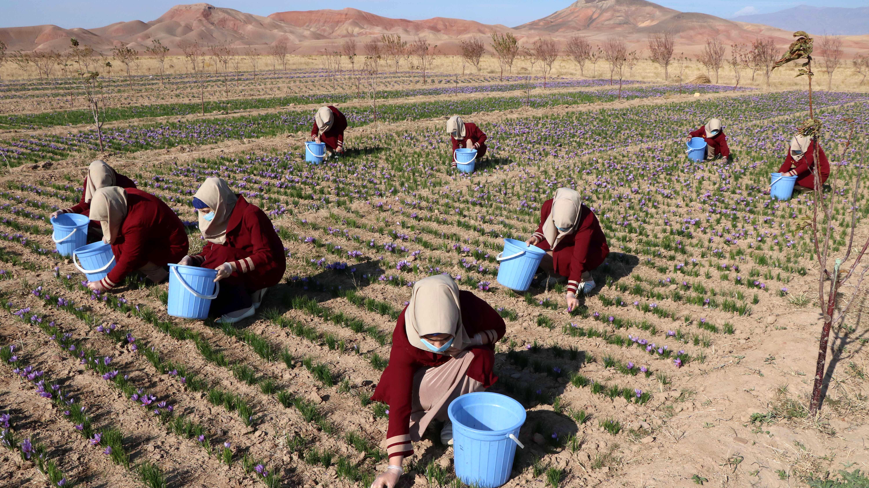Годишно в Афганистан се произвежда около 4000 кг. сух шафран, а площите засяти с шафранов минзухар с всяка година се увеличават и в момента са 1150 хектара. В подкрепа на шафрано производството е приетият наскоро 5 годишен национален план за развитието на тази скъпа подправка.