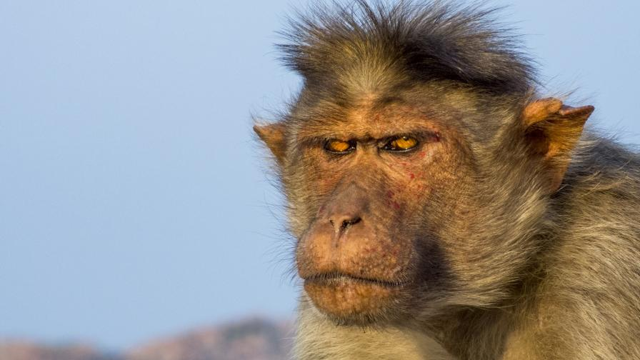 <p>Маймуни убиха жената на политик в Индия</p>