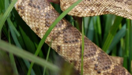 Спомина се рядка двуглава змия, открита във Вирджиния